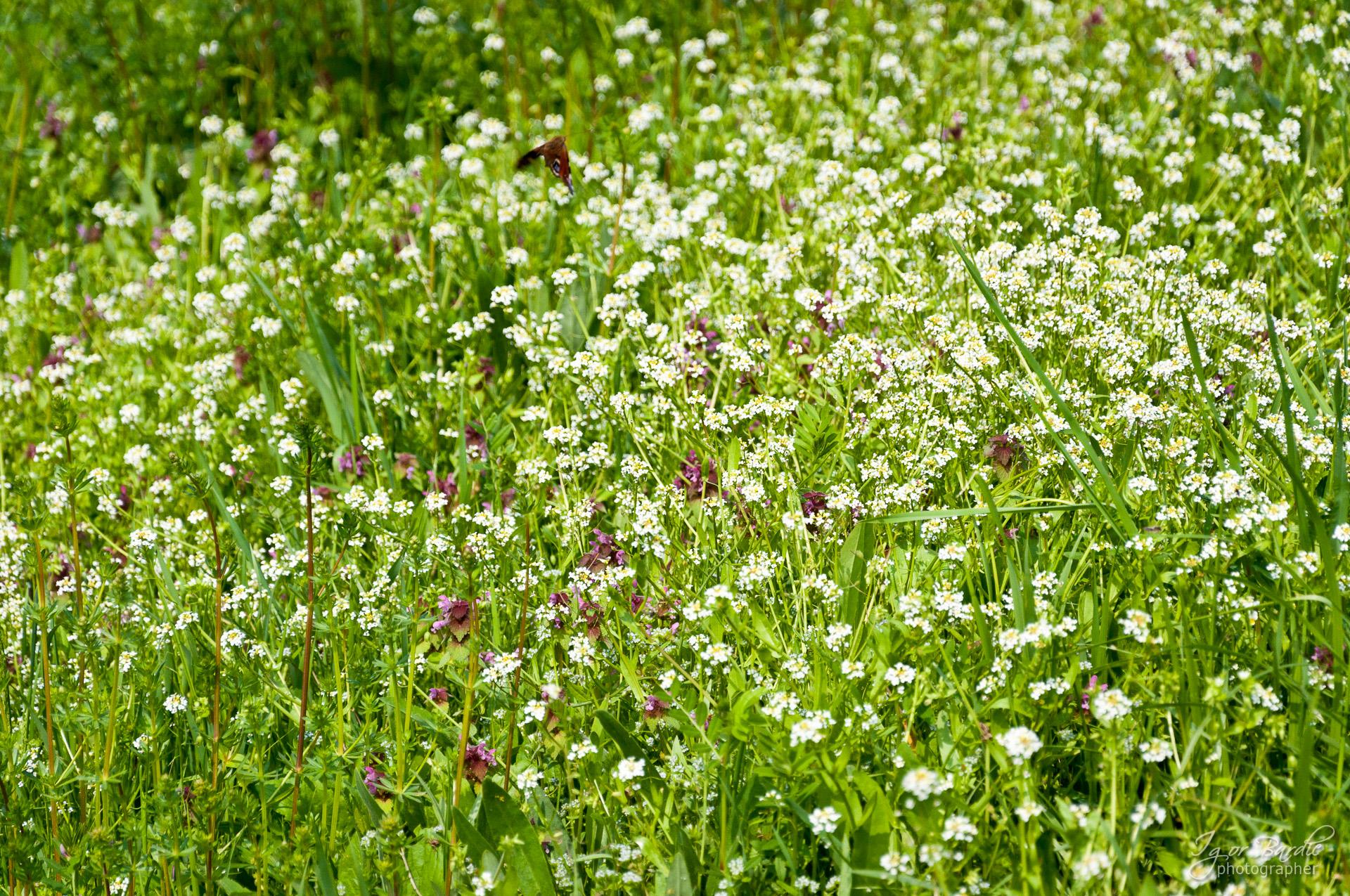 Sitni cvetići, Kovilj